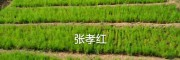 2年天冬种苗报价_云南青野中药材开发有限公司