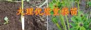 粉质滇重楼子催芽技术-大理成熟重楼籽销售
