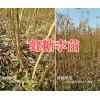 蜂糖李子苗批发价格-云南蜂糖李子苗销售商15125404188