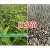 两年生的红梨树苗销售&昭通苹果苗木批发-云南红梨苗