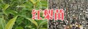 红香酥梨树苗批发-红梨树苗价格&红梨苗栽培图片-云南苗木