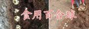 云南优质百合球批发商,曲靖百合种植合作社食用百合销售