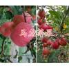 昆明红富士苹果供应-曲靖红富士苹果销售&马龙苹果批发