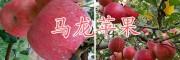 曲靖苹果批发商-昆明周边苹果销售-马龙苹果销售价格