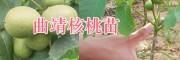 曲靖哪里的毛桃种子量大?毛桃种苗批发,马龙核桃苗