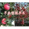 优质早熟蜜脆苹果&云南早熟蜜脆苹果-曲靖蜜脆苹果批发
