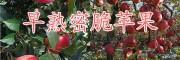 马龙蜜脆苹果种植园-曲靖蜜脆苹果介绍以及批发价