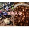 食用百合一斤的价格-云南食用百合球&百合种球销售价格