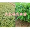 高产大红袍花椒苗-曲靖黄金李苗-13769845571