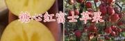 糖心红富士苹果批发价格-曲靖糖心红富士基地-糖心红富士图片