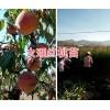 袋装映霜红桃苗批发&映霜红桃树苗的价格-大理桃苗商