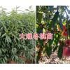 映霜红桃苗-大理云龙县哪里有映霜红桃苗/红桃苗基地