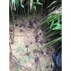 砂仁种苗多少钱一斤?砂仁种植技术