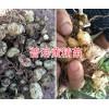 云南野生黄精红花苗 普洱黄精种苗白花-黄精块茎批发