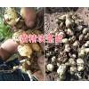 滇黄精一亩地需要多少种子?普洱黄精基地种苗供应