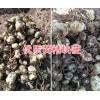 滇黄精苗批发价-普洱黄精苗、块茎苗销售14736739836