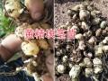 普洱黄精块茎苗-滇黄精红花#滇黄精种苗销售批发信息
