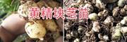 滇黄精苗销售-普洱滇黄精块茎苗栽培-14736739836