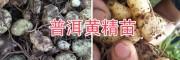 黄精块茎种苗、滇黄精成品自产自销-14736739836