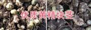 普洱白花黄精种苗,黄精块茎苗产地自销/14736739836