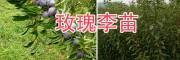 玫瑰李(脆红李)树苗-大理李子苗批发基地
