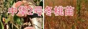 中华冬桃2号品种-大理冬桃苗出售及技术指导