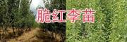 新品种李子苗-大理脆红李苗销售/中华2号冬桃苗