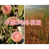 云南果苗销售:大理中华2号冬桃苗和脆红梨苗共50万棵