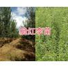 大理脆红李树苗种植基地:25万棵新品种李苗销售