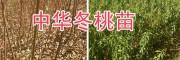 优质冬桃苗图片-云南冬桃*大理冬桃苗销售
