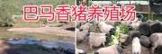 玉溪巴马香猪养殖场-生态香猪养殖/商品巴马香猪