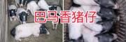 巴马香猪种猪多少钱一只?小耳朵猪仔生态养殖场
