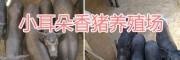 版纳小耳朵猪-小耳朵香猪养殖销售/玉溪巴马香猪种苗