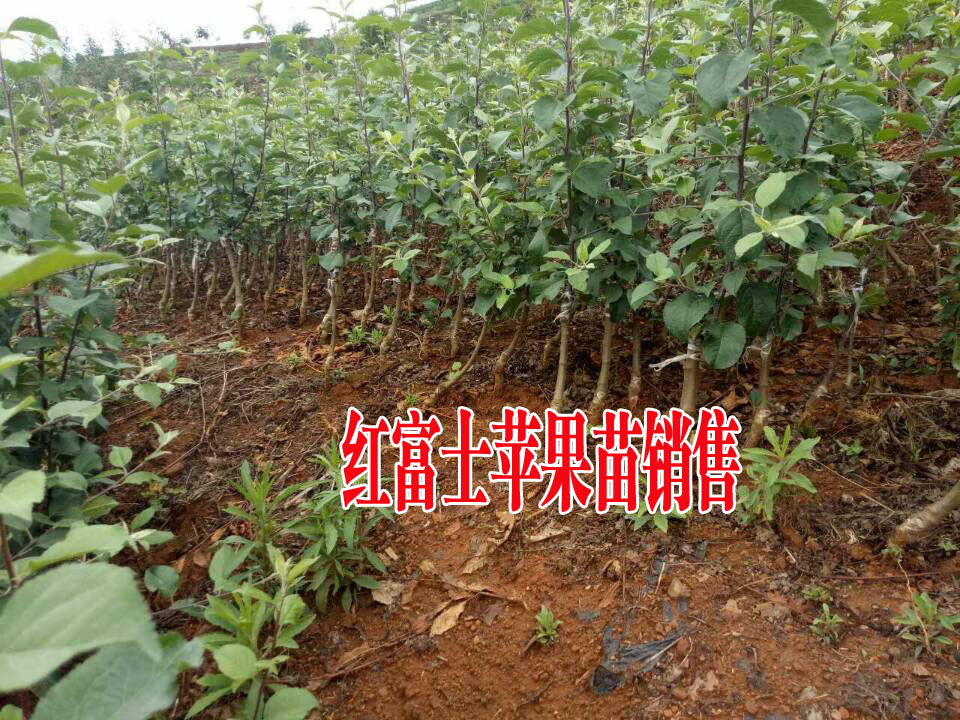 今日红富士苹果苗多少钱一株?