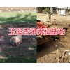 巴马香猪价格表-云南小耳朵香猪批发/玉溪巴马香猪养殖供应