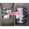 云南巴马香猪产地—玉溪巴马香猪养殖场-小耳朵香猪