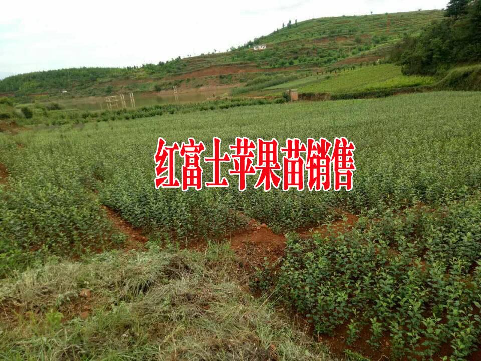 红富士苹果苗图片_正宗昭通产地红富士苹果苗(附图)