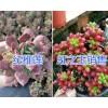 昆明多肉植物品种-红稚莲/虹之玉/红叶季多肉一盆多少钱?