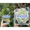 昆明多肉植物种植户:金钱木/静夜*蓝苹果/六角海棠多肉盆栽