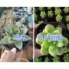 多肉植物春萌/葡萄&乙女心&紫羊绒/珍珠出售—昆明多肉