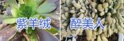 昆明紫羊绒、醉美人多肉植物栽培、多肉植物批发