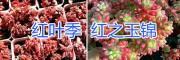 昆明多肉植物自产自销:红之玉锦/过冬乙女仙/金钱木多肉植物
