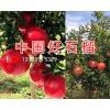 黑籽石榴苗销售价格/云南黑籽石榴供应商-中国好石榴
