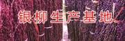 银柳批发种植基地-18181979853/重庆银柳供应商