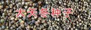 云南药材种苗信息网/昆明新鲜中药种子天门冬批发