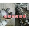 昆明肉鸽多少钱一对#肉鸽的养殖前景/云南小型肉鸽养殖场