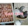 昆明肉鸽养殖场-大型肉鸽供应加工