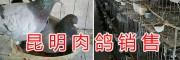 昆明乳鸽养殖基地-大型肉鸽销售&云南肉鸽批发价格信息