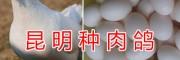 云南昆明新品种肉鸽养殖肉鸽供应信息
