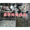 云南肉鸽种鸽价格-怎么挑选肉鸽#昆明小肉鸽养殖